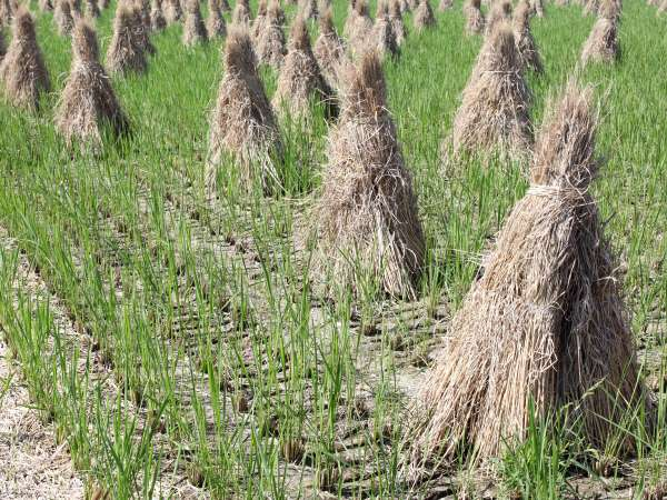 Image showing rice straw which has been harvested by hand